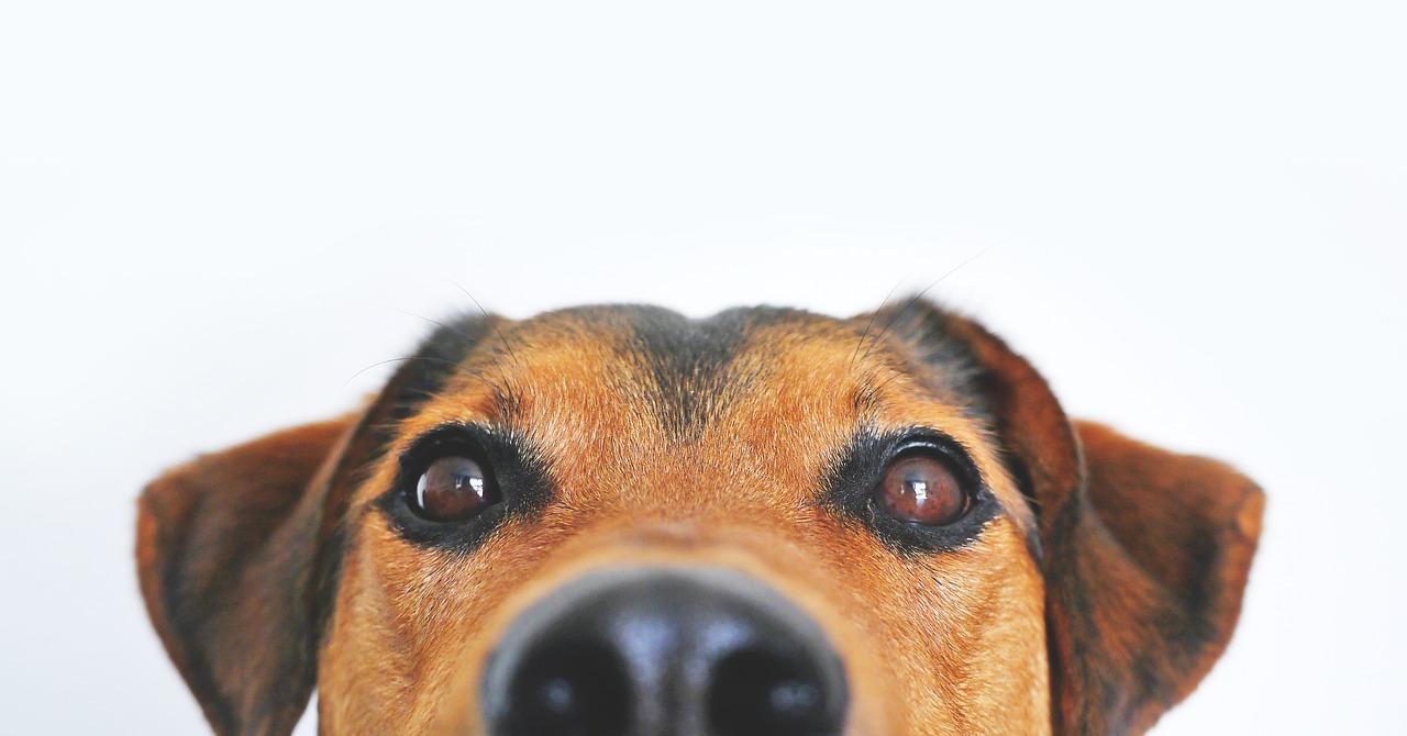 科学表明狗能分辨COVID-19的味道?!